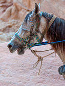 Horse with blinders — Stock Photo