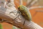 Sulphurous Jewel Beetle — Stock Photo