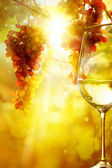 Art the glass of wine and Ripe grapes on a vine with bright sun  — Stockfoto