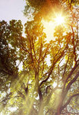 Art Sunbeams pour through trees in forest — Stock Photo