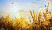 Art backdrop of ripening ears of yellow wheat field on the sunse — Stock Photo