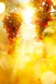 Art grape background. Vineyard harvest season. — Stock Photo