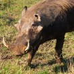 Warthog (Phacochoerus aethiopicus) — Stock Photo #56327027