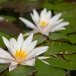 Waterlily in the pond — Stock Photo #72763825