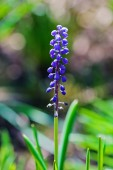 Grape hyacinth (Muscari) — Stock Photo