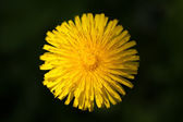 Common dandelion (Taraxacum officinale) — Stock Photo