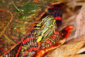 Покрашенная черепаха (chrysemys picta) — Стоковое фото
