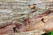 Giant Ichneumon Wasps in Illinois — Stock Photo