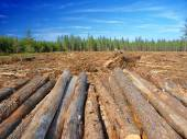 Jack Pine (Pinus banksiana) Logging Operation — Stock Photo