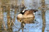 Canada Goose (Branta canadensis) — Stock Photo