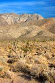 Joshua Trees (Yucca brevifolia) Nevada — Photo