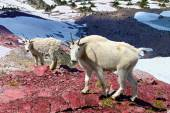Mountain Goat Mother and Baby — Stock Photo