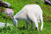 Mountain Goat Glacier National Park — Stock Photo
