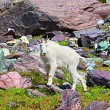 Mountain Goat Alpine Environment — Stock Photo #62391317