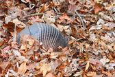 Nine-banded Armadillo (Dasypus novemcinctus) — Stock Photo