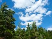 Pine Woodlands - Michigan — Stock Photo