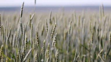 Campo de trigo com ventosa — Vídeo stock