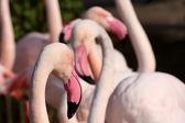 Chilean Flamingo — Stockfoto