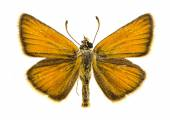 Essex skipper butterfly — Stock Photo