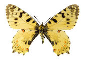 Eastern Festoon butterfly — Stock Photo