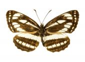 Pallas Sailer butterfly — Stock Photo