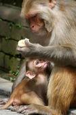 Makaak familie in Kathmandu, Nepal — Stockfoto