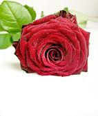 Red rose with leaves — Stockfoto