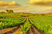 Winnica w śródziemnomorskiego kraju na zachodzie słońca — Zdjęcie stockowe