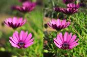 Purple flowers shot with different apertures — Stock Photo