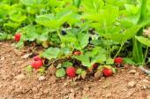 Ripe strawberries in the plant — Stock Photo