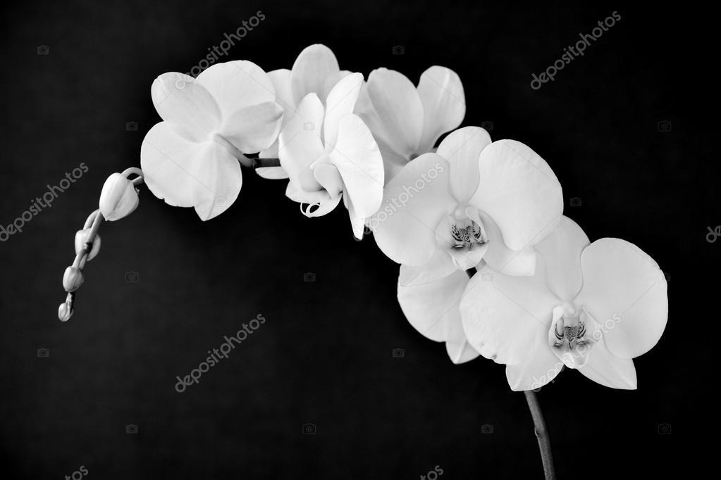 фаленопсис афродита