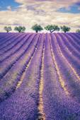 Lavender field with trees — Stock Photo