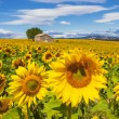 Beautiful landscape with sunflower field — Stock Photo #52724949