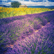 Lavender and sunflower field with tree in France — Stock Photo #52724983