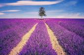 Lavender field and tree — Stock Photo