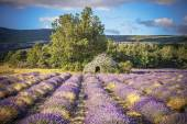 Lavender field and tree in Provence — Stock Photo