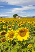 Beautiful landscape with sunflower  — Stock Photo