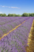 Lavender field with blue sky — Stock Photo