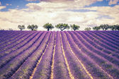 Beautiful Lavender field — Stock Photo