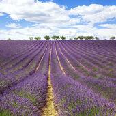 Beautiful lavender field — Stock Photo