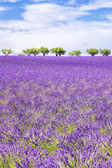 Vertical view of beautiful lavender field — Stock Photo
