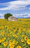 Vertical landscape with sunflower — Stock Photo