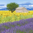 View of lavender and sunflower field — Stock Photo #62275317