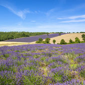 View of Lavender field in Provence — Stock Photo