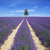 View of Lavender field with tree and blue sky — Stock Photo
