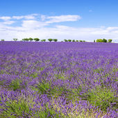 View of Lavender field with trees in Provence — Stock Photo