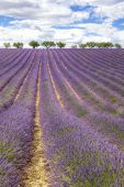 Vertical view of lavender field — Stock Photo