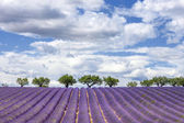 Horizontal view of lavender field — Stock Photo