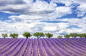 View of lavender field — Stock Photo