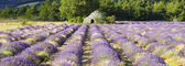 Panoramic view of Lavender field — Stock Photo